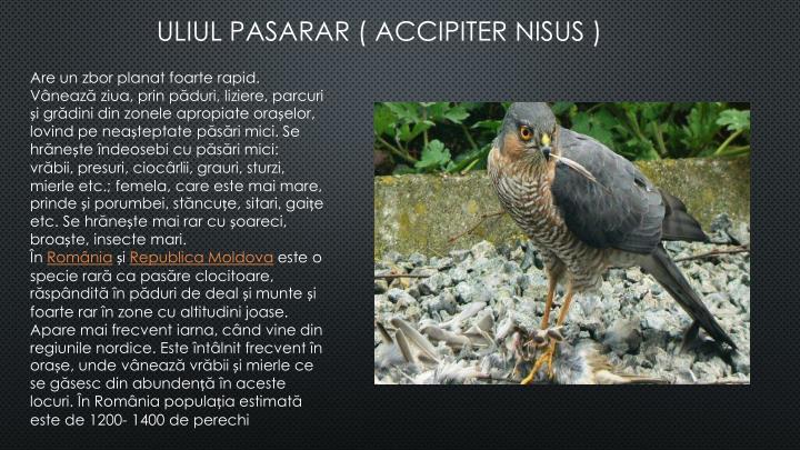 ULIUL PASARAR ( ACCIPITER NISUS )