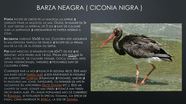 BARZA NEAGRA ( CICONIA NIGRA )