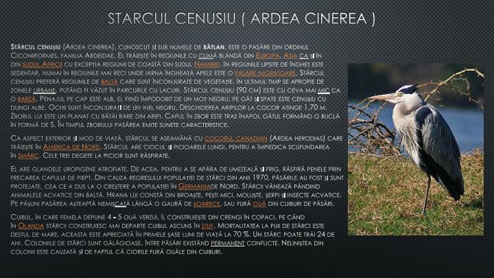 STARCUL CENUSIU ( ARDEA CINEREA )