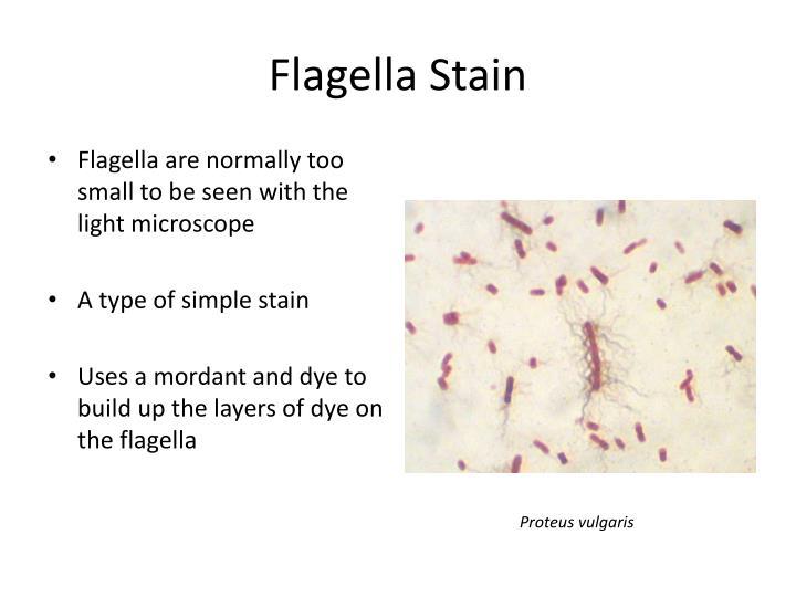 Flagella Stain