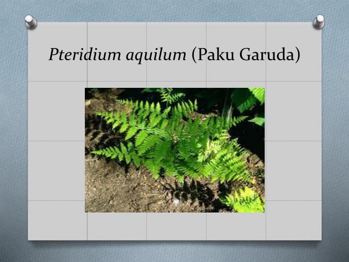 Pteridium
