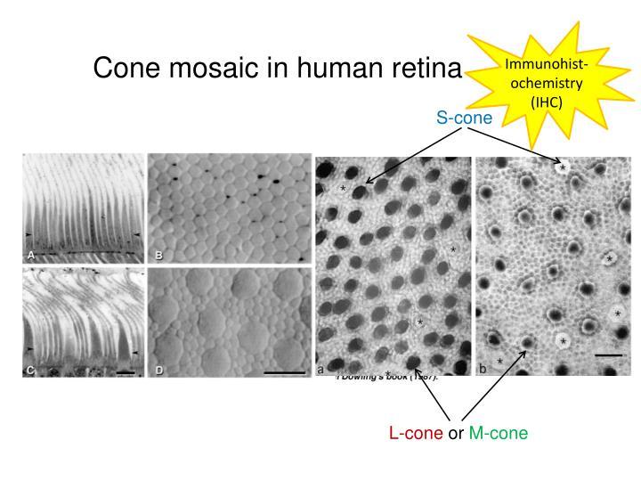 Cone mosaic in human retina