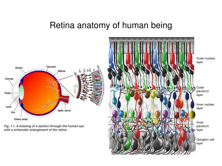 Retina anatomy of human being