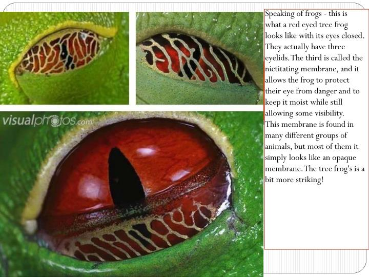 Speaking of frogs - this is what a red eyed tree frog looks like with its eyes closed. They actually have three eyelids. The third is called the nictitating membrane, and it allows the frog to protect their eye from danger and to keep it moist while still allowing some visibility.