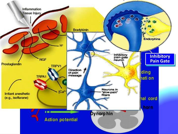 Inhibitory Pain Gate