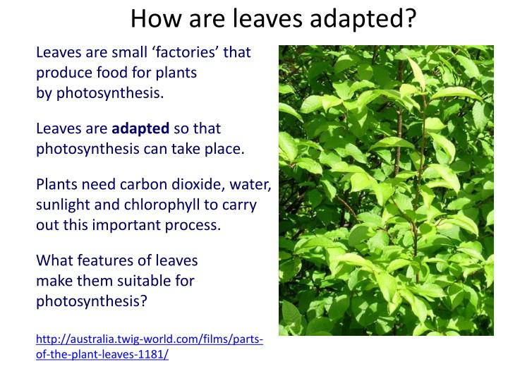 How are leaves adapted?