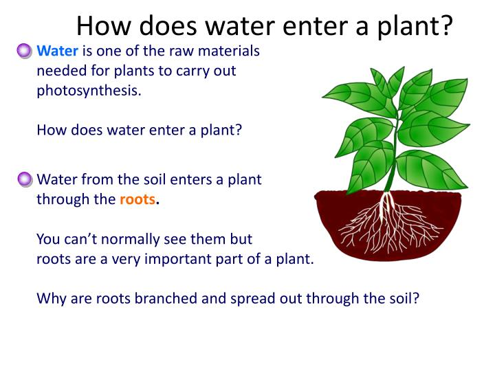 How does water enter a plant?