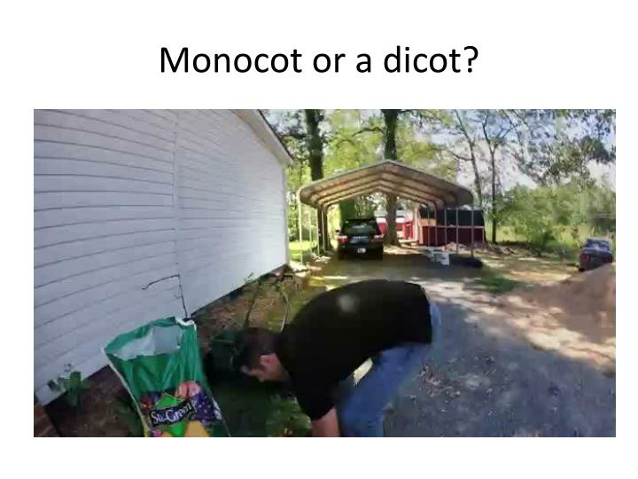 Monocot or a dicot?