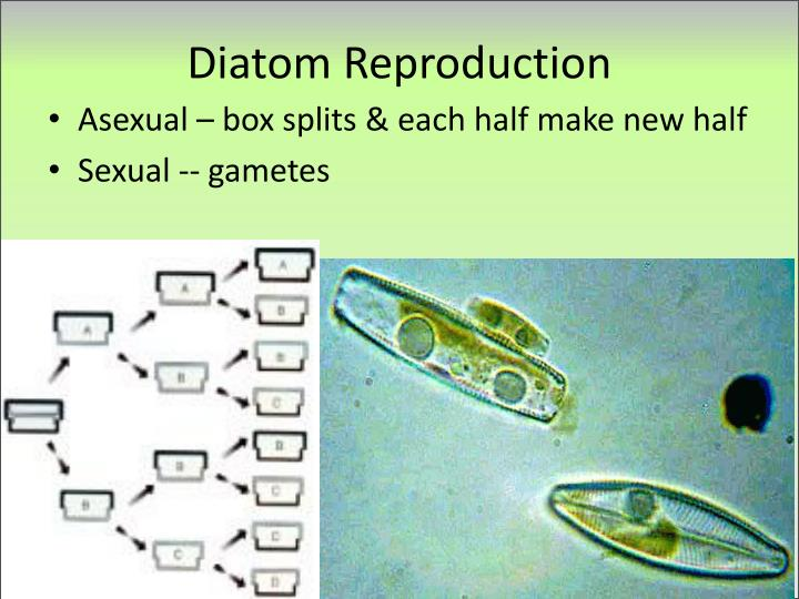 Diatom Reproduction