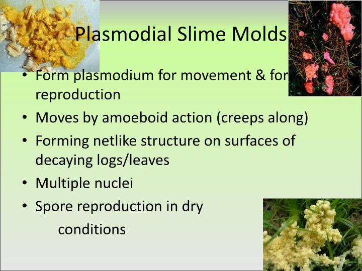 Plasmodial