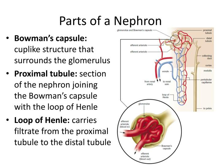 Parts of a Nephron