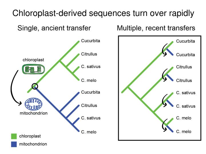 Chloroplast-derived sequences turn over rapidly