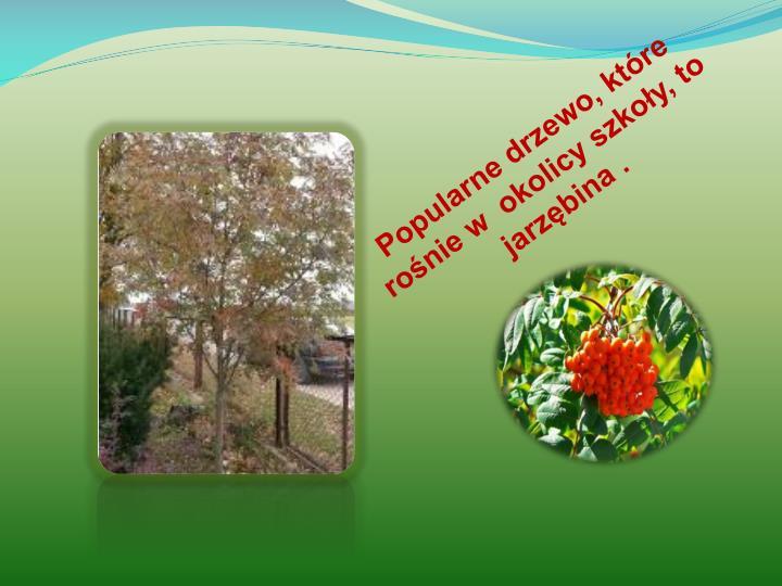 Popularne drzewo, które rośnie w  okolicy szkoły, to jarzębina .