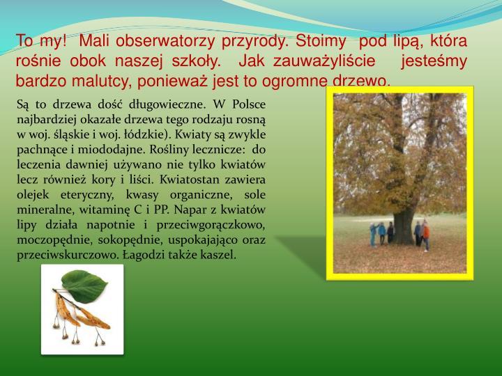 To my!  Mali obserwatorzy przyrody. Stoimy  pod lipą, która rośnie obok naszej szkoły.  Jak zauważyliście   jesteśmy bardzo malutcy, ponieważ jest to ogromne drzewo.