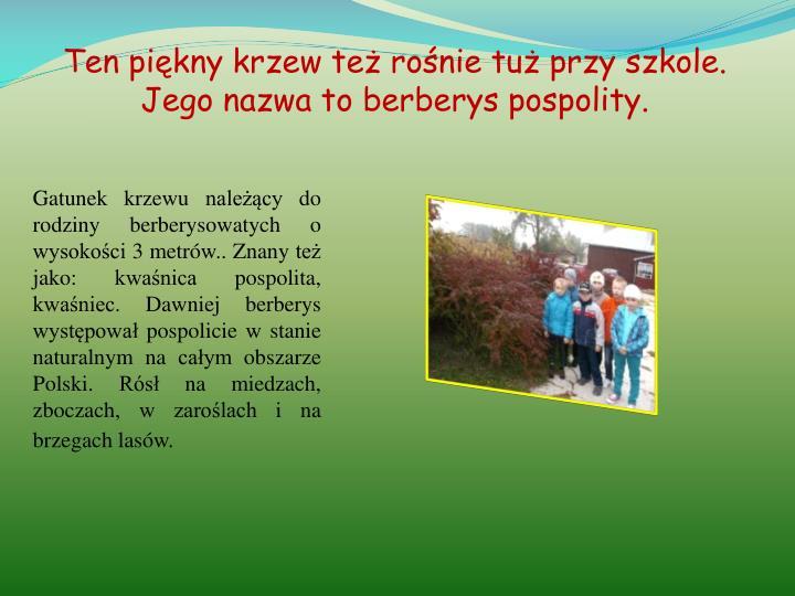 Ten piękny krzew też rośnie tuż przy szkole. Jego nazwa to berberys pospolity.