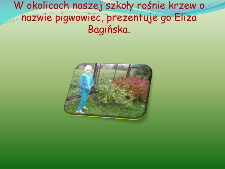 W okolicach naszej szkoły rośnie krzew o nazwie pigwowiec, prezentuje go Eliza Bagińska.