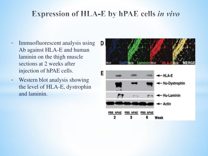 Expression of HLA-E by hPAE cells