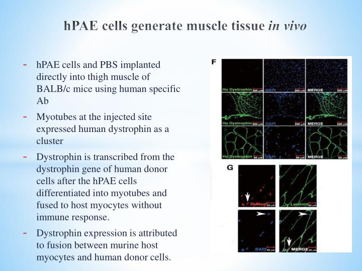 hPAE cells generate muscle tissue