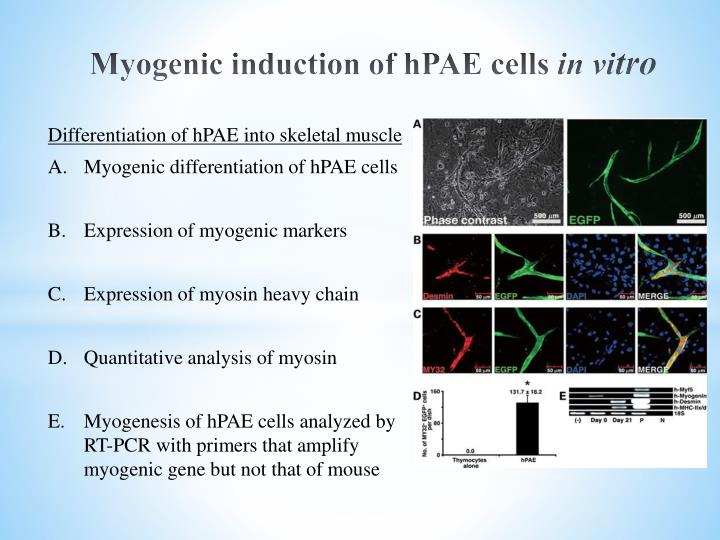 Myogenic induction of hPAE cells