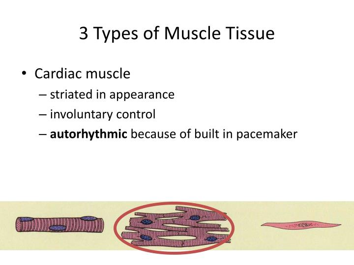 3 types of muscle tissue1