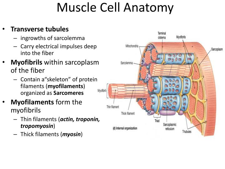 Muscle Cell Anatomy