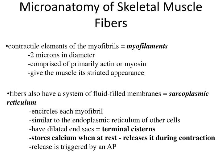 Microanatomy of Skeletal Muscle Fibers