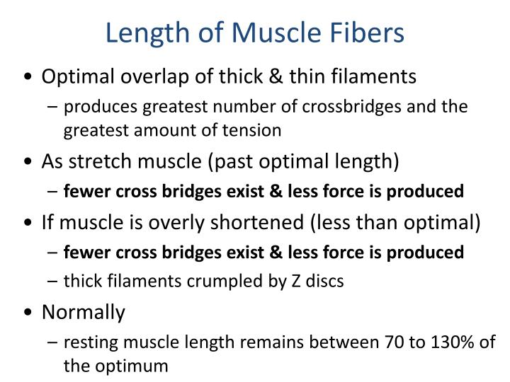 Length of Muscle Fibers
