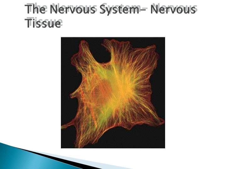 The nervous system nervous tissue