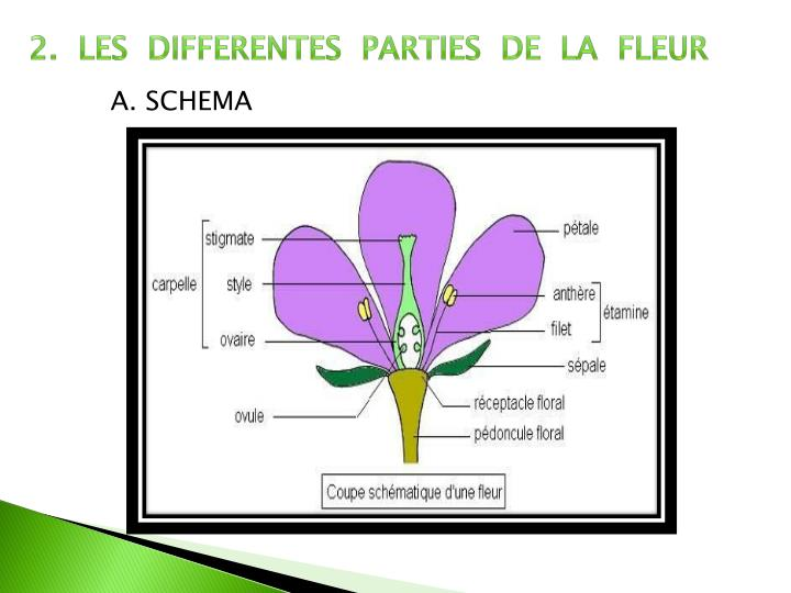 2.  LES  DIFFERENTES  PARTIES  DE  LA  FLEUR