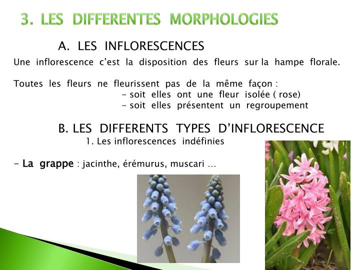 LES  DIFFERENTES  MORPHOLOGIES