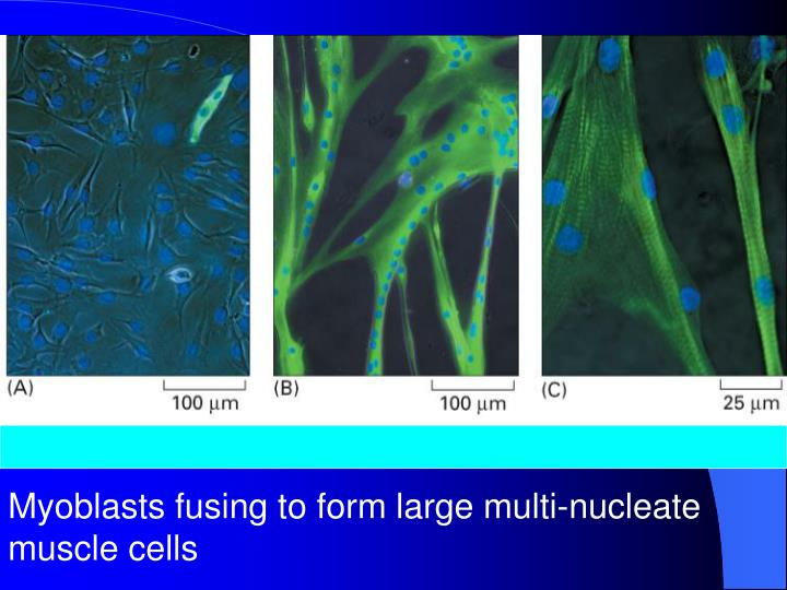 Myoblasts fusing to form large multi-nucleate muscle cells