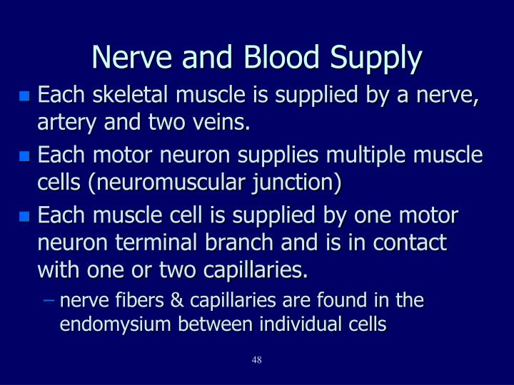 Nerve and Blood Supply