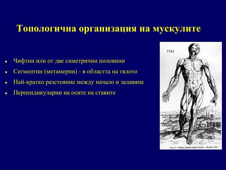 Топологична организация на мускулите