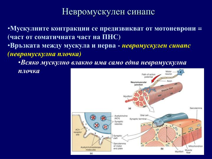 Невромускулен синапс