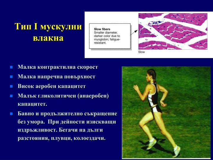 Тип I мускулни влакна