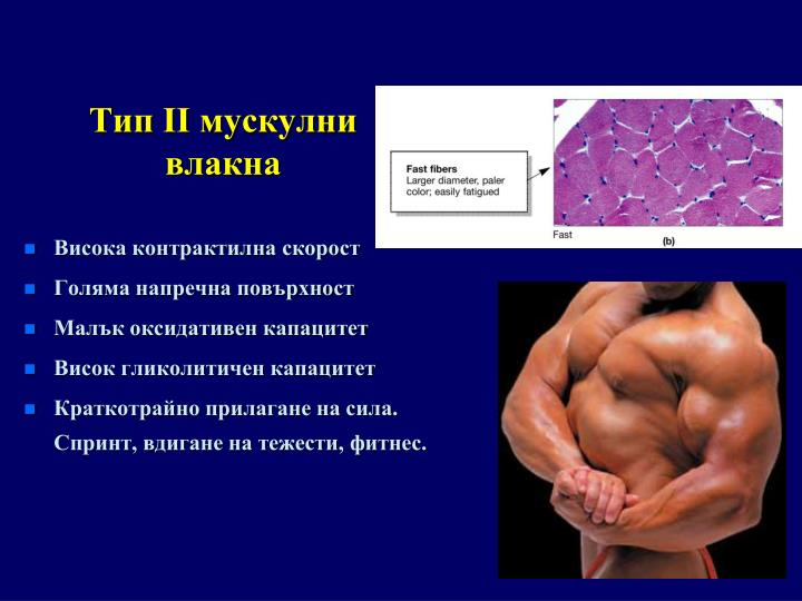 Тип II мускулни влакна