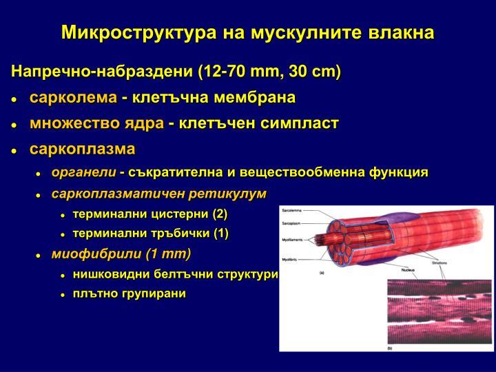 Микроструктура на мускулните влакна
