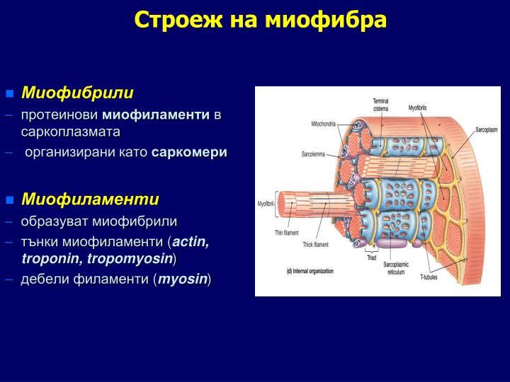 Строеж на миофибра