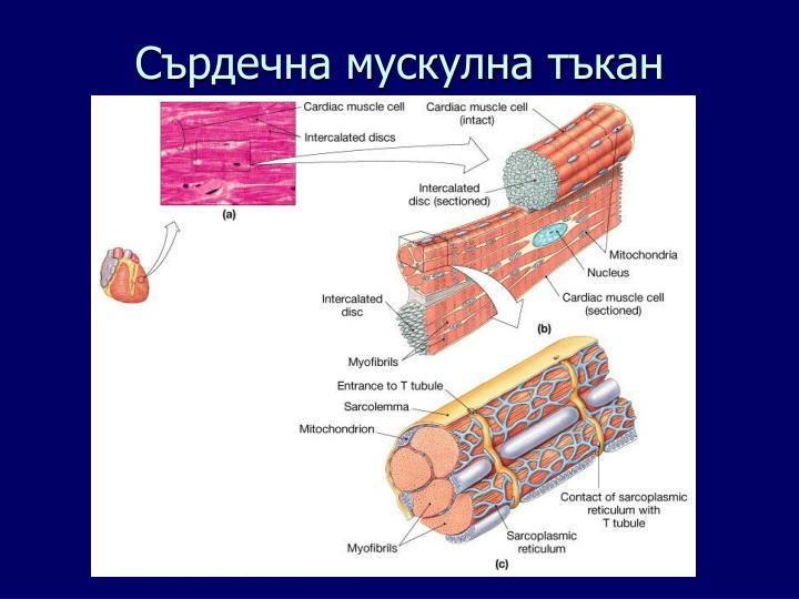 Сърдечна мускулна тъкан