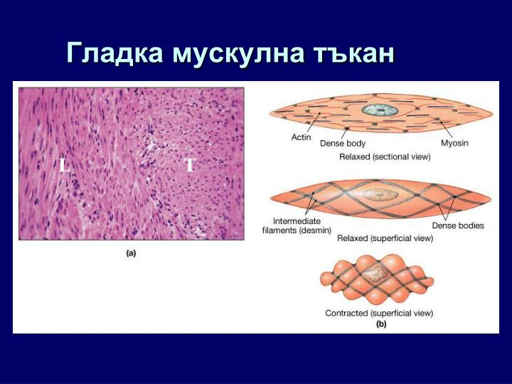 Гладка мускулна тъкан