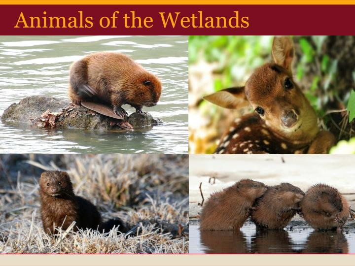Animals of the Wetlands
