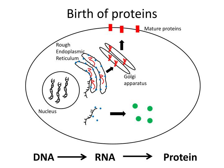 Birth of proteins