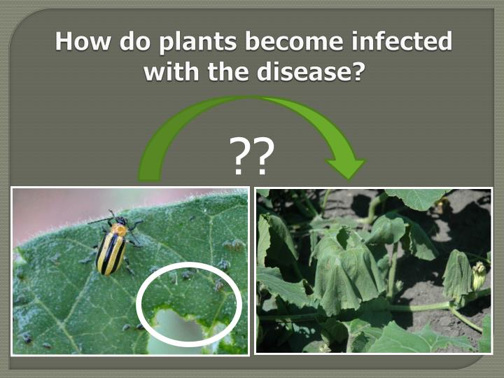 How do plants become infected with the disease?
