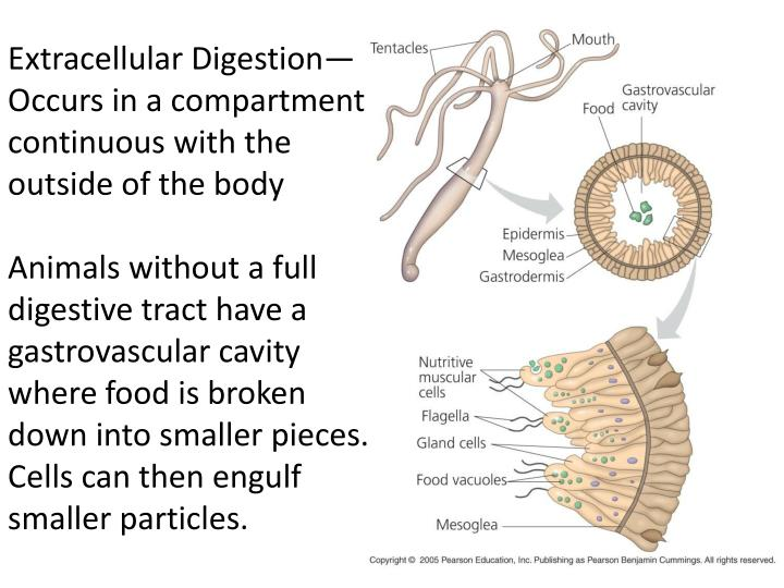 Extracellular Digestion— Occurs in a compartment continuous with the outside of the body
