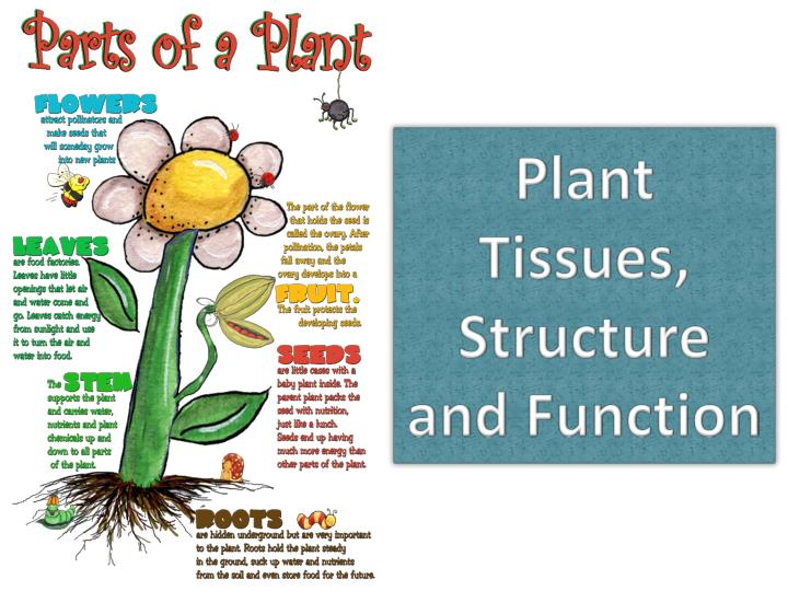 plant tissue diagram One main difference between plant and animal tissue is that plant tissue has a cell wall while animal tissue only has a cell membrane in addition, plant tissue contains chlorophyll, a substance that is absent from animal tissue plant tissue comes in two types: meristematic and permanent.