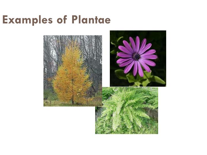 Examples of Plantae