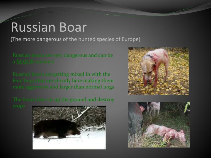 Russian Boar