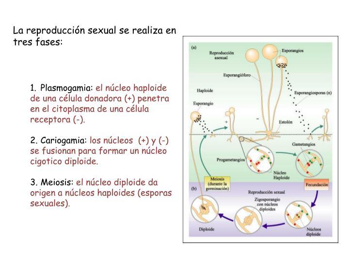 La reproducción sexual se realiza en tres fases: