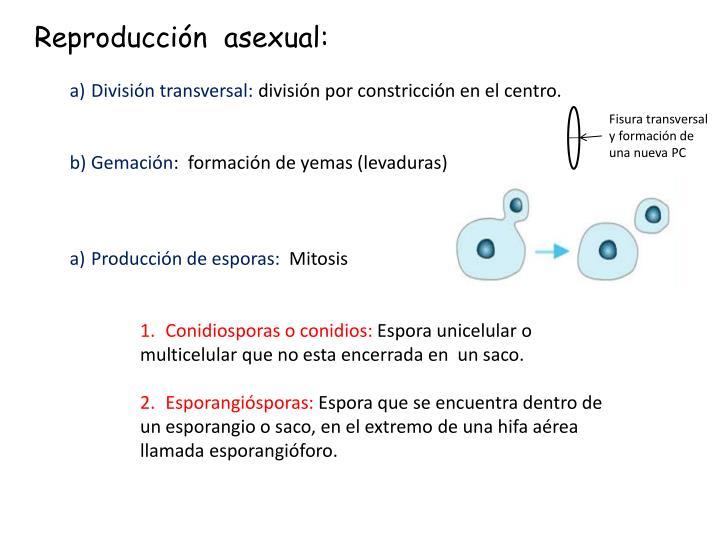 Reproducción  asexual: