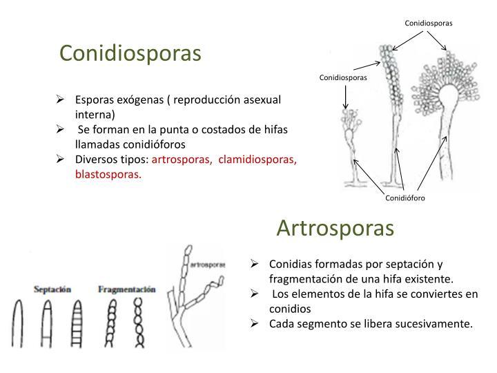 Conidiosporas